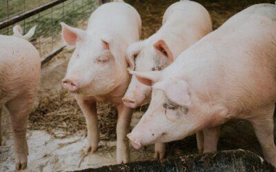 Volume de negócios da fileira da carne de porco atinge os 911 milhões de euros no 1º semestre